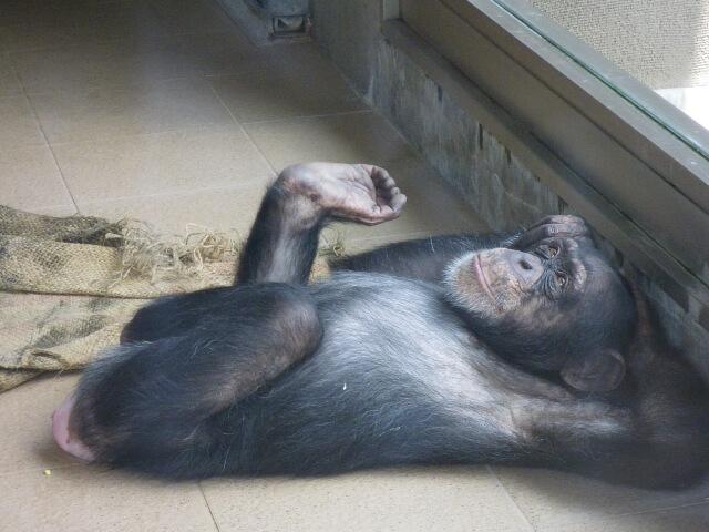 寝転がるチンパンジー